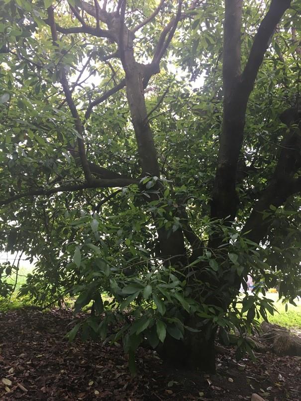 Avo-tree-1